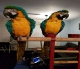 Handfed Blue and Gold Macaw With Fantastic Cage!Ready Now