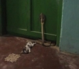 Cat fights cobra snake to save master