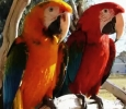 Scarlet macaw parrots for adoption