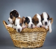Buy Healthy Dogs & Puppies for Sale in Chandigarh | Online P