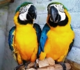 Blue gold macaw parrots for adoption