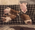 British Bulldog Puppies for sale