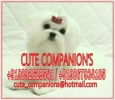 CuteCompanions kennels and Breeders