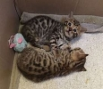Cutest Bengal Kittens ready