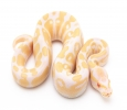 Male and female albino ball python