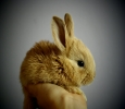 Buy Healthy Rabbits Pair for Sale in Chandigarh